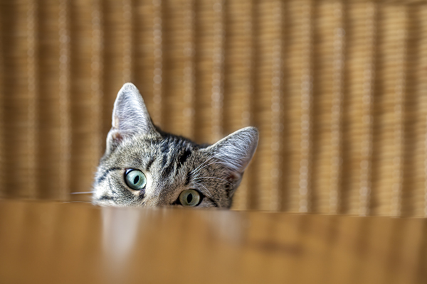 Cat looking over a table