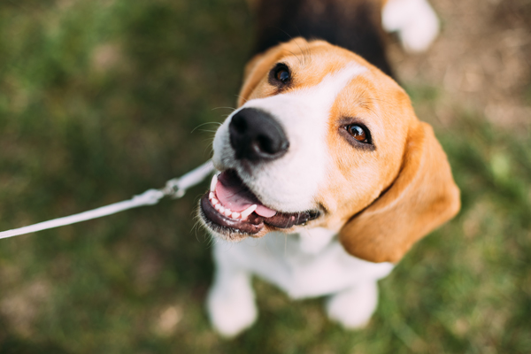 Beagle on a leash